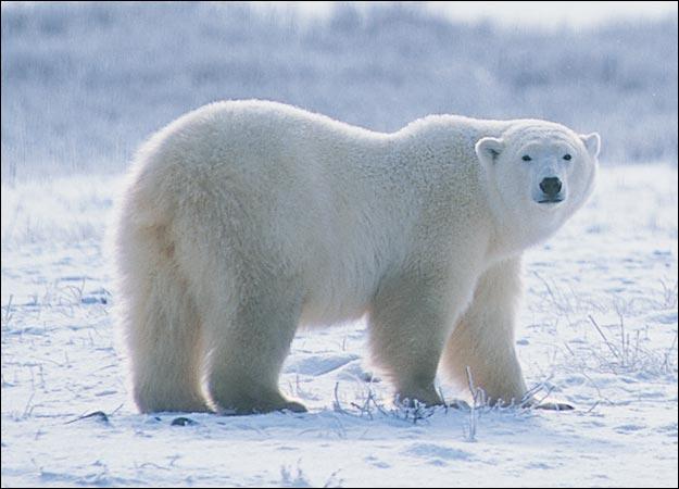 Международный день полярного медведя. На белом раздолье