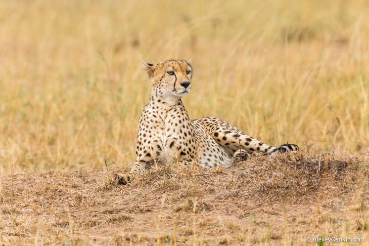 Африканские кошки (14 фото)