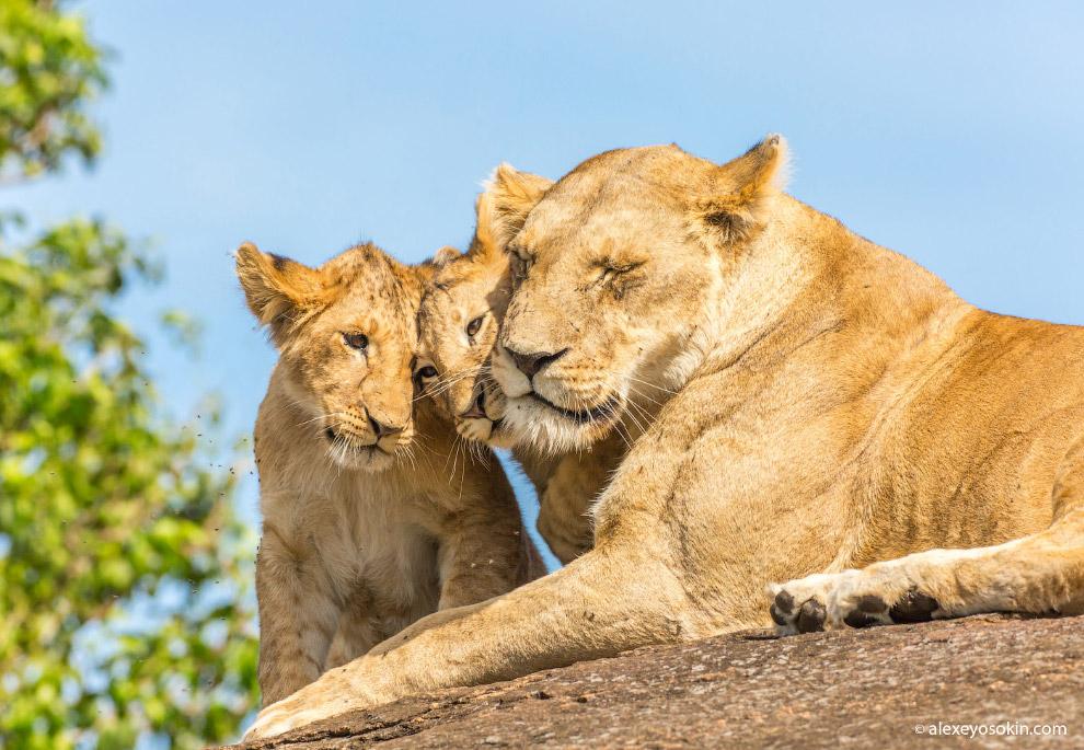 Африканские кошки