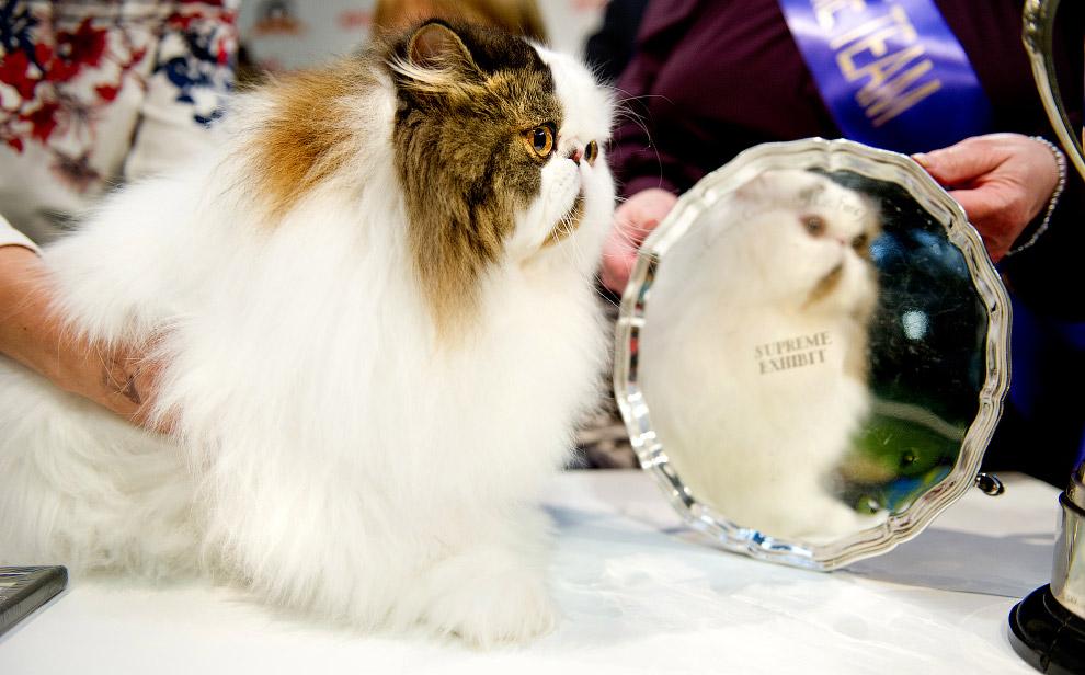 4. Сфинкс — группа пород бесшёрстных кошек. При выведении породы была закреплена естественная мутаци