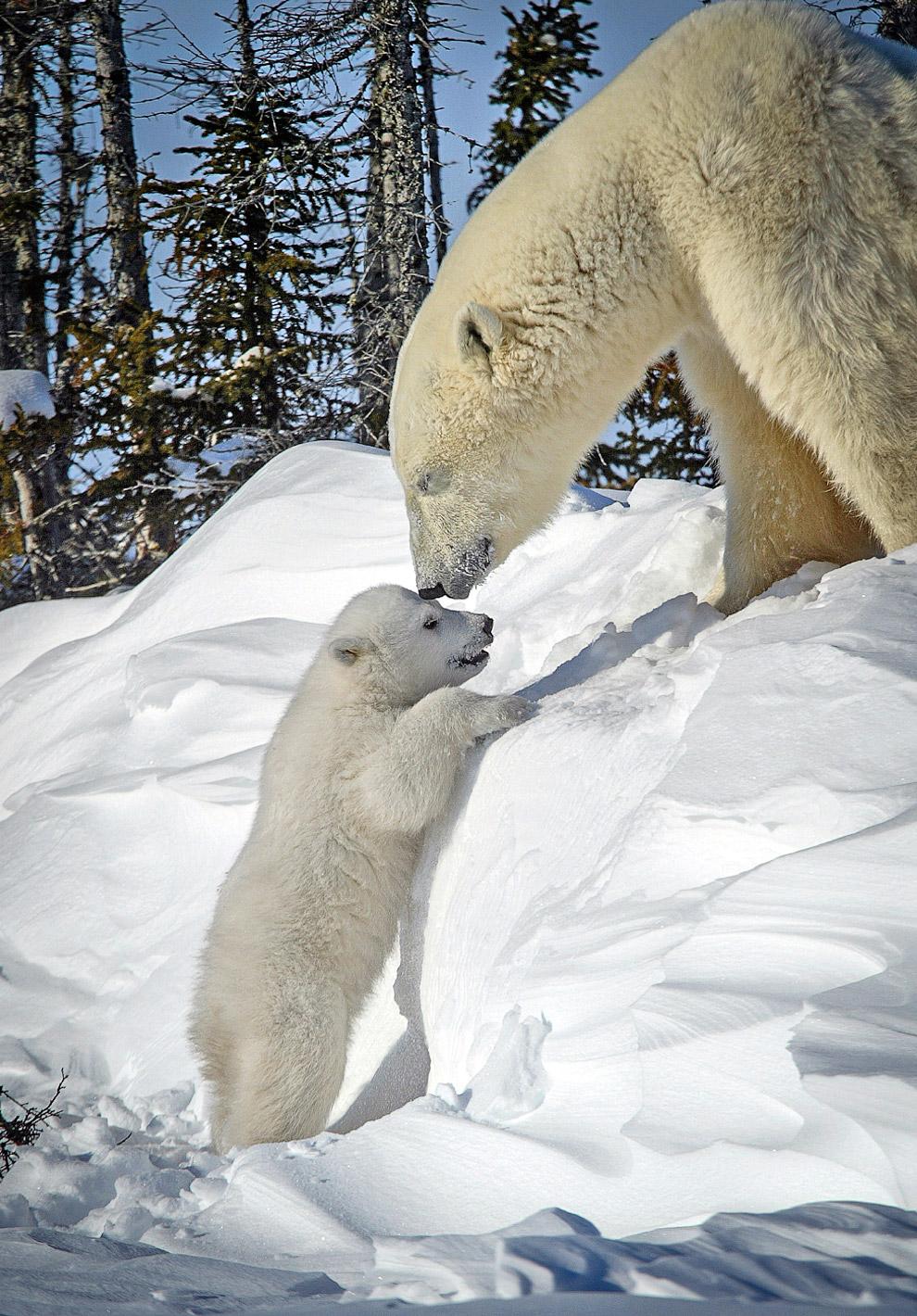 6. Интересно, что у белого медведя черная кожа.