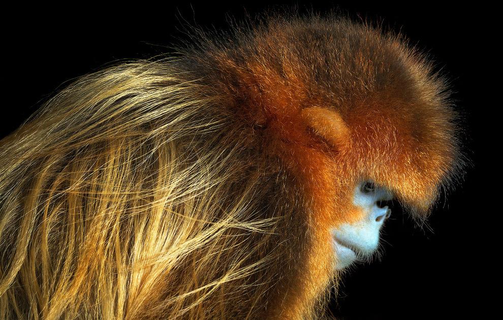 12. Венценосная сифака. (Фото Tim Flach, from Endangered by Tim Flach):