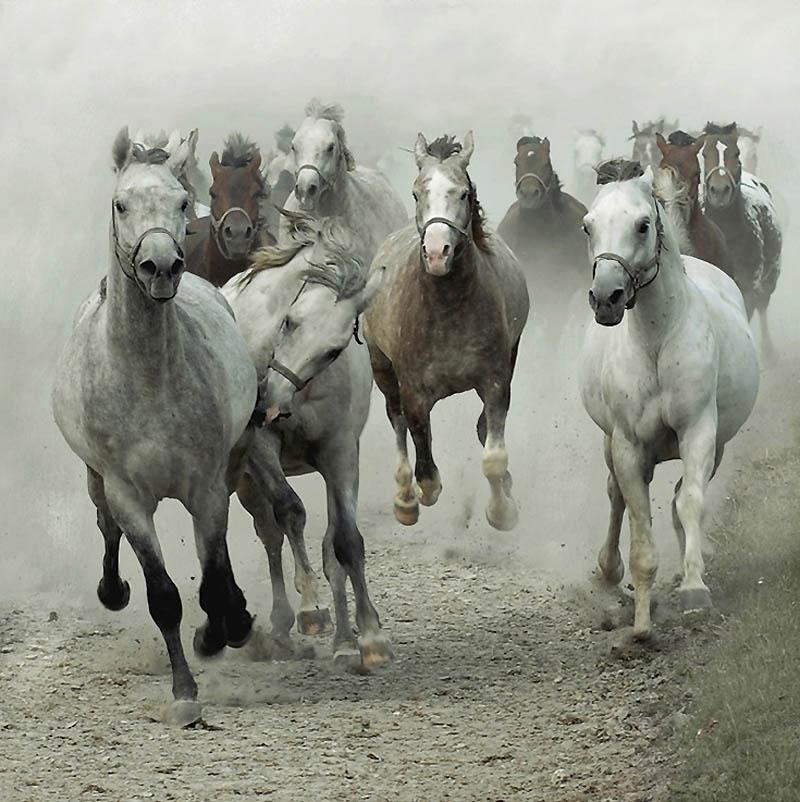 13. Хотя многие арабские лошади кажутся белыми, они не белые. Белый цвет волос обычно создается есте