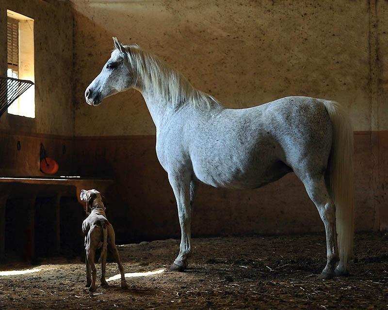 16. Арабская – одна из самых древних пород в мире. (Wojtek Kwiatkowski)