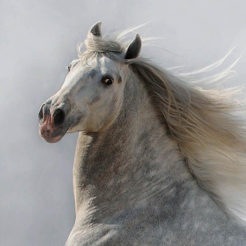 34. Величественный внешний вид андалузской лошади с ее изогнутой шеей, мускулистым строением и энерг