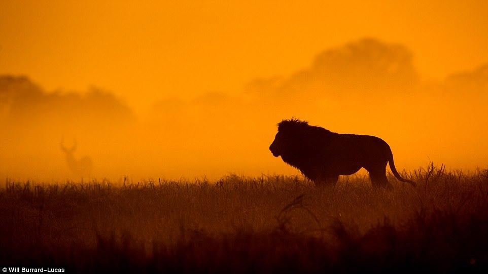 Дикие животные Африки в золотистых лучах заката и рассвета (13 фото)