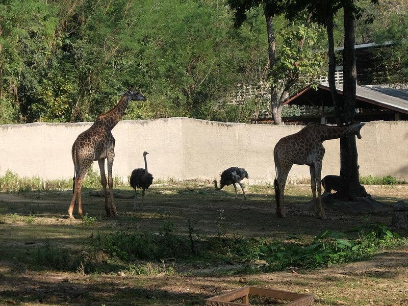 Чиангмай - Зоопарк - Жирафы