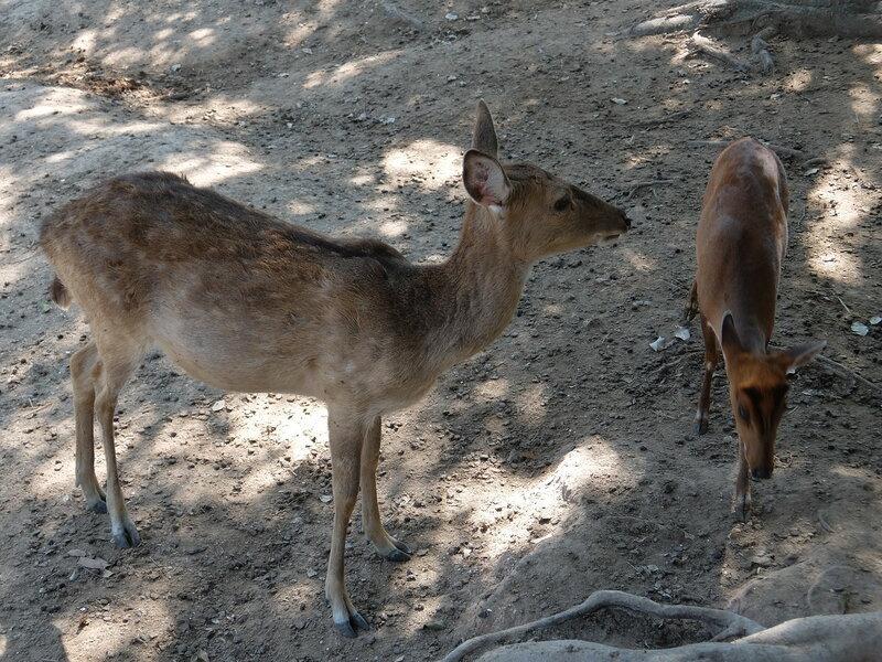 Чиангмай - Зоопарк - Олени пришли подкормиться