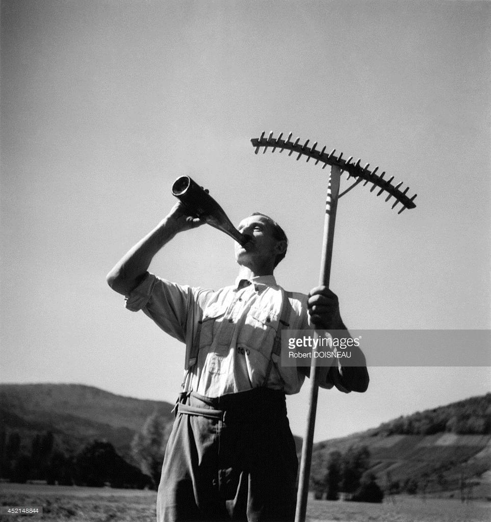 1950. Человек пьет из бутылки, чтобы охладиться во время сбора урожая в Эльзасе