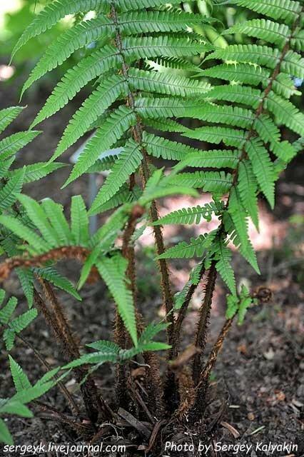 Dryopteris wallichiana (3).JPG