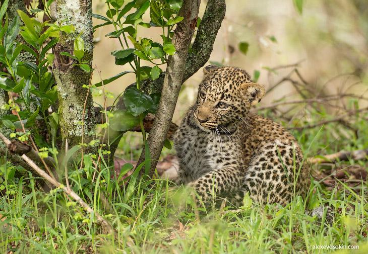 Леопардик Поли (19 фото)