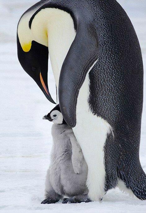 Императорский пингвин со своим птенцом.