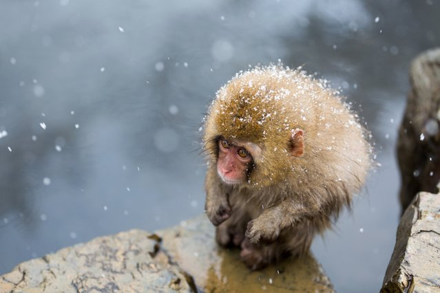 """A Little Monkey on the Cliff"". ""A cold front hit the Nagano prefecture. I saw a little monkey endur"