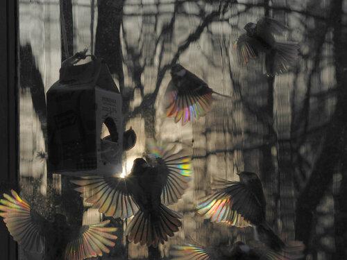 Большой аншлаг у нашей кормушки зимним утром. Там, внутри пакета от ряженки насыпаны семечки. Каждая синица берет по одной и отлетает семечку расклевывать. Воробьи же пытаются семечку раздавить, что не всегда у них получается. К тому же, воробей – птица некультурная: иногда засядет внутри кормушки и никого из синиц не пускает. Автор фото: Юрий Семенов