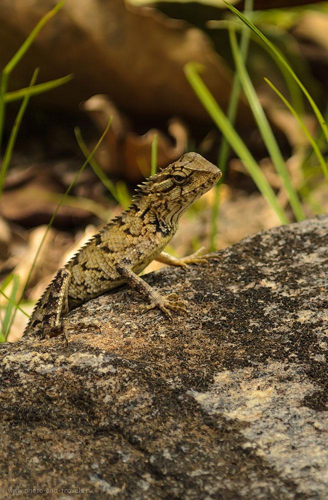 Фото 9. Сафари на рептилий на каменных ступенях древнего города Полоннарува на Шри-Ланке. Отзывы об экскурсии самостоятельно. Стоит ли ехать.