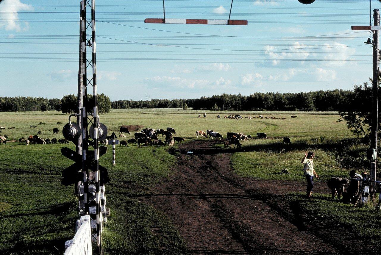 Стадо овец к востоку от Барабинска