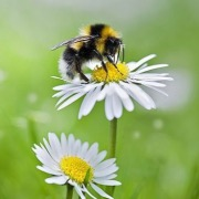 Пчела на ромашках