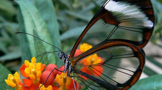 Грета ото Бабочки вида Greta oto отличаются почти прозрачными крыльями. Основной ареал обитания &mda