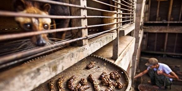 Как так вышло, что самый дорогой кофе в мире добывают из экскрементов куницы?