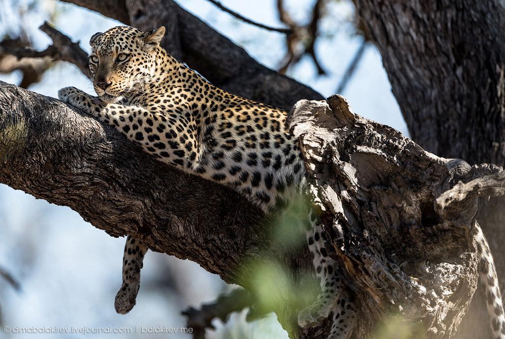 8. К сожалению, леопарды вымирают и виноваты в этом люди. Особенно досталось диким кошкам в к