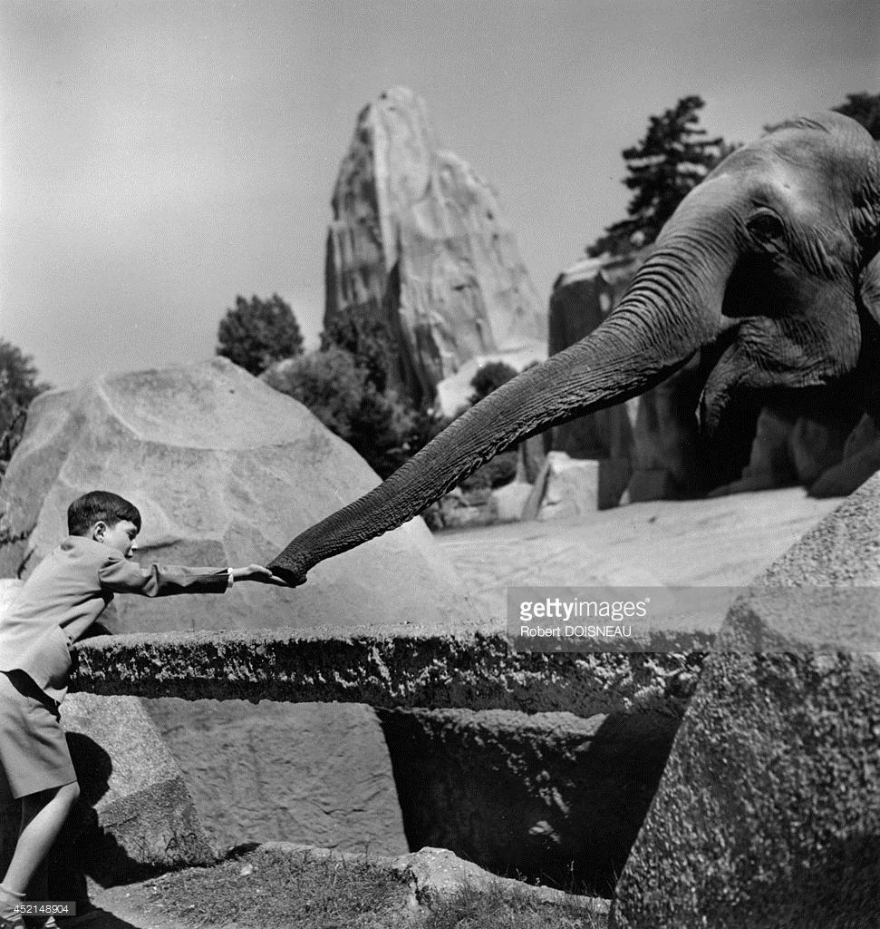 1949. Слон ест из рук мальчика в зоопарке в Венсене