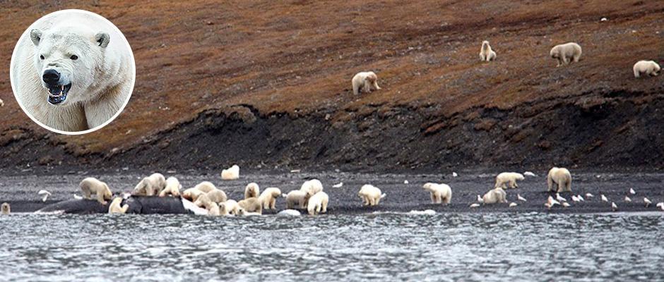 Невероятное зрелище: 230 белых медведей пируют тушей мертвого кита