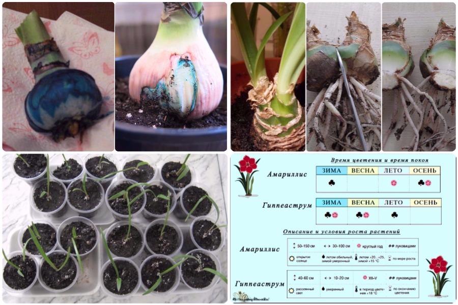Гиппеаструм: размножение, болезни, отличие от амариллиса
