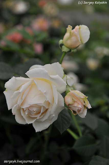 Rosa Deben Sunrise (1).JPG