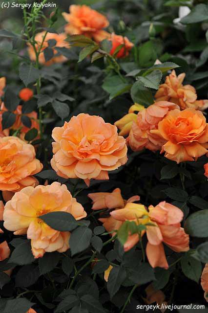 Rosa Jane Austen (3).JPG