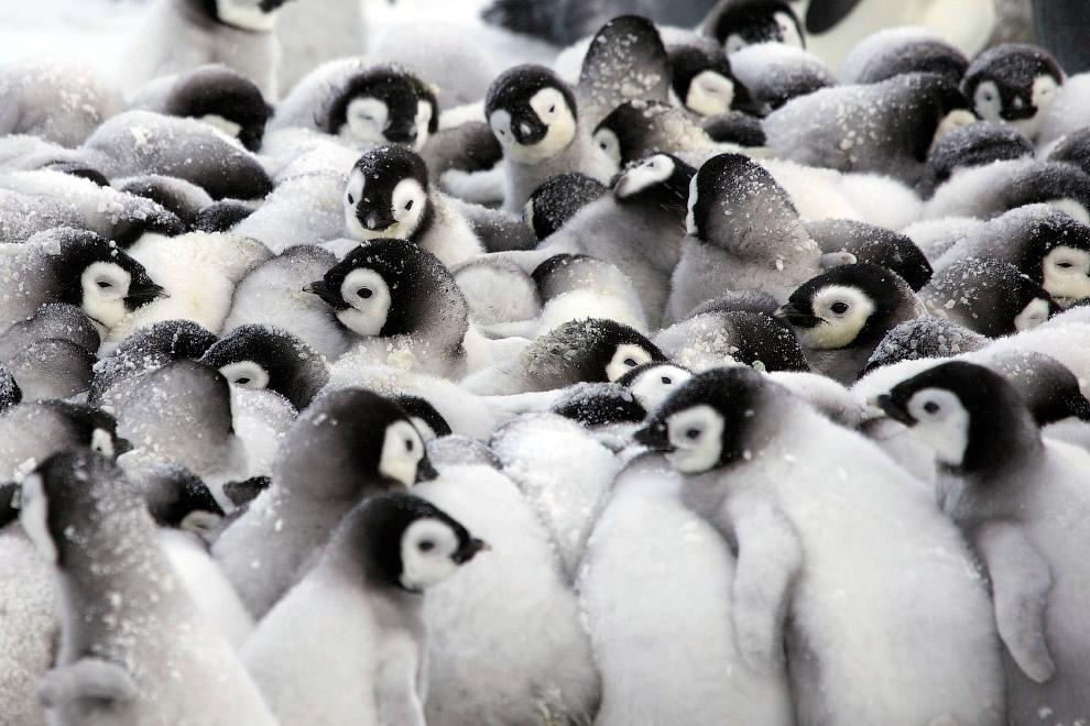 8. Масса яйца императорского пингвина 450 г, размер 12?9 см. Несмотря на «кучу малу», родител