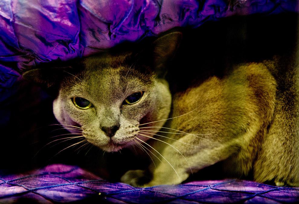 13. На сегодняшний день в мире насчитывается около 60 пород кошек. Одни из них были созданы природой