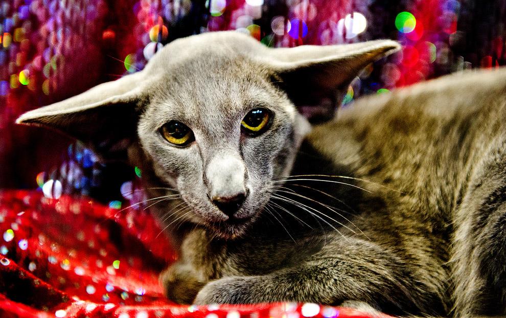 14. Supreme Cat Show 2017 — крупнейшая выставка кошек в Европе. (Фото Shirlaine Forrest   WireImage)