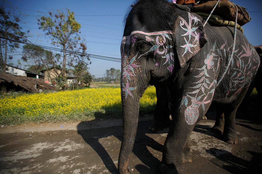 13. Фотография на память перед началом фестиваля слонов в Непале, 26 декабря 2014. (Фото Navesh Chit