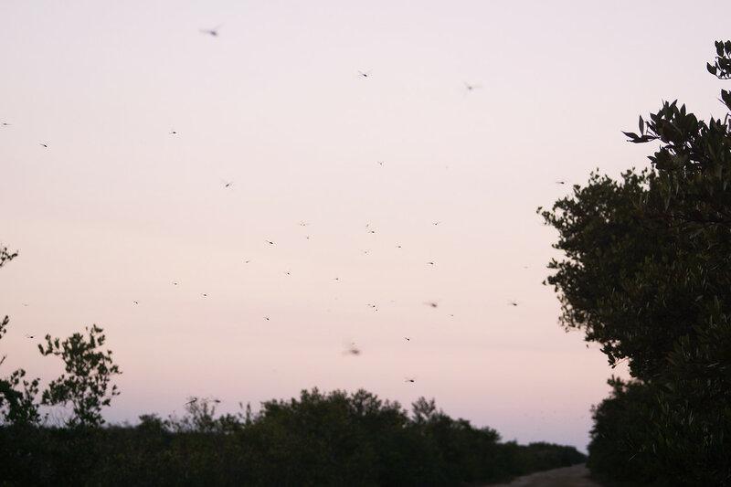 Стрекозы вечером в Сиенага де Запата