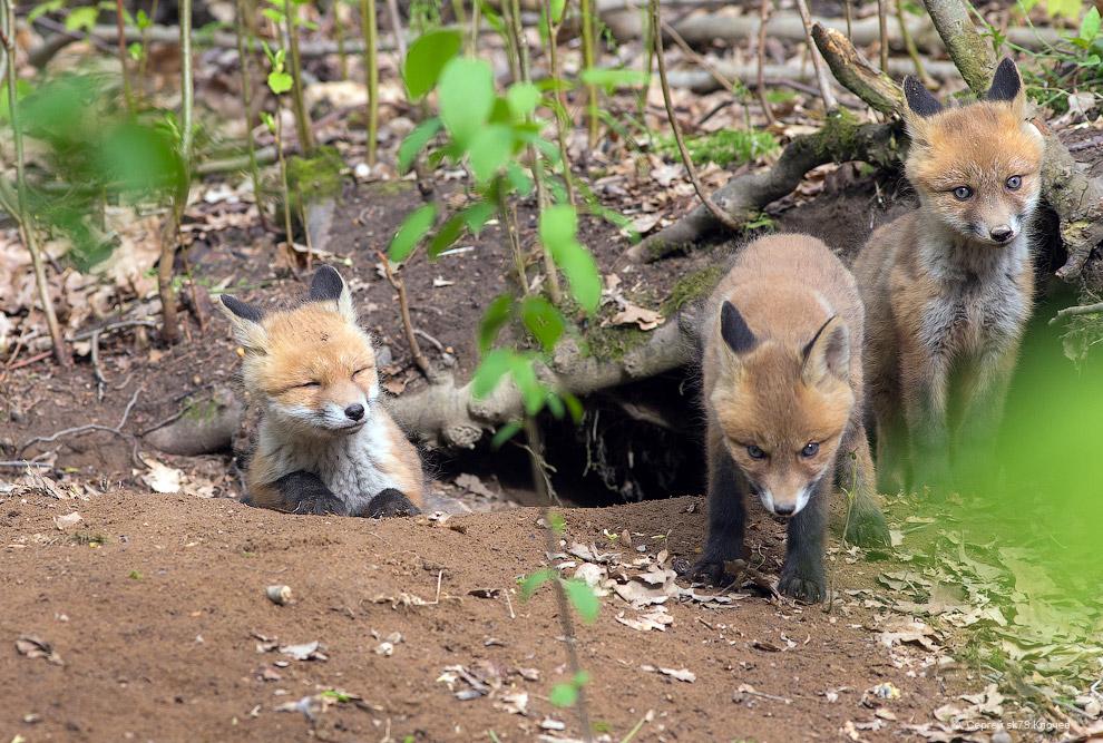 17. Эту нору лисы сделали в небольшом холме. Два выхода из неё были направлены в кусты, а с про