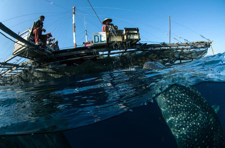 Заплыв с китовой акулой (11 фото)