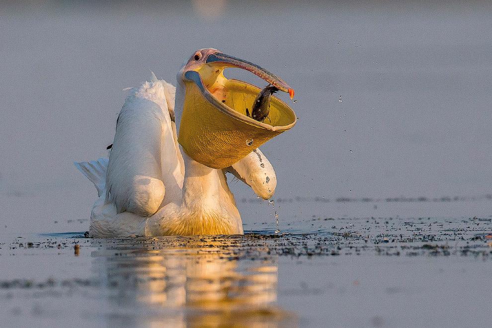 14. Большая белая цапля поймала змею в болотах Эверглейдса во Флориде. Или наоборот. (Фото Jo