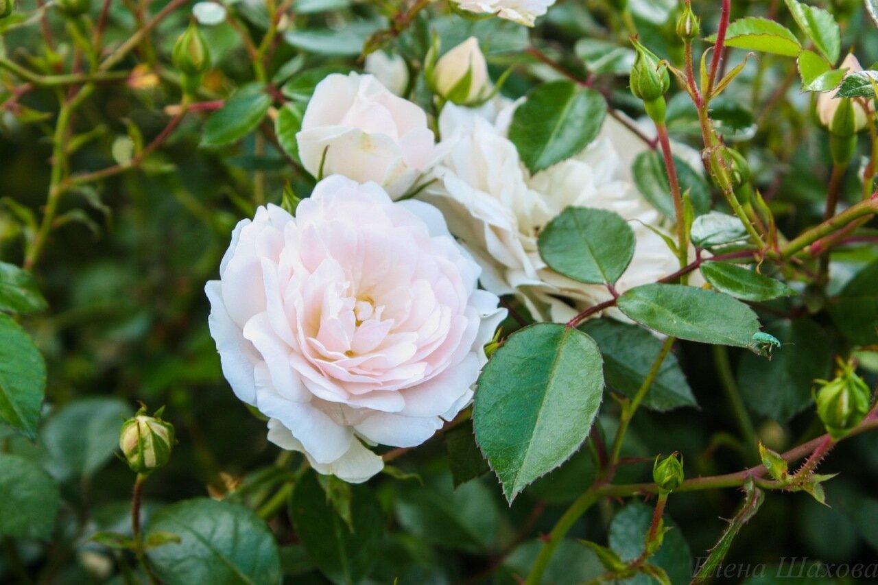 Розы-7.jpg