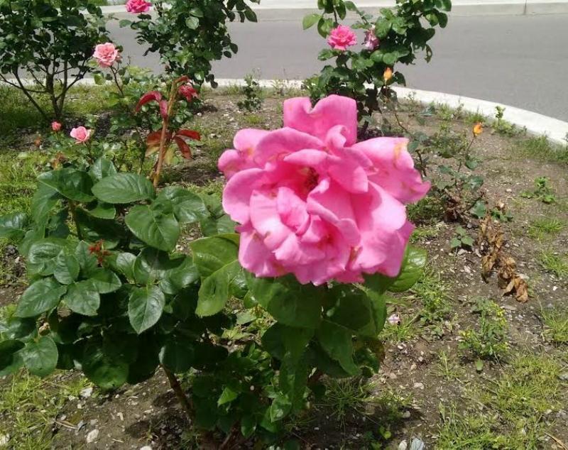 Розовая.jpg