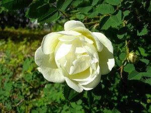 Нежная роза.