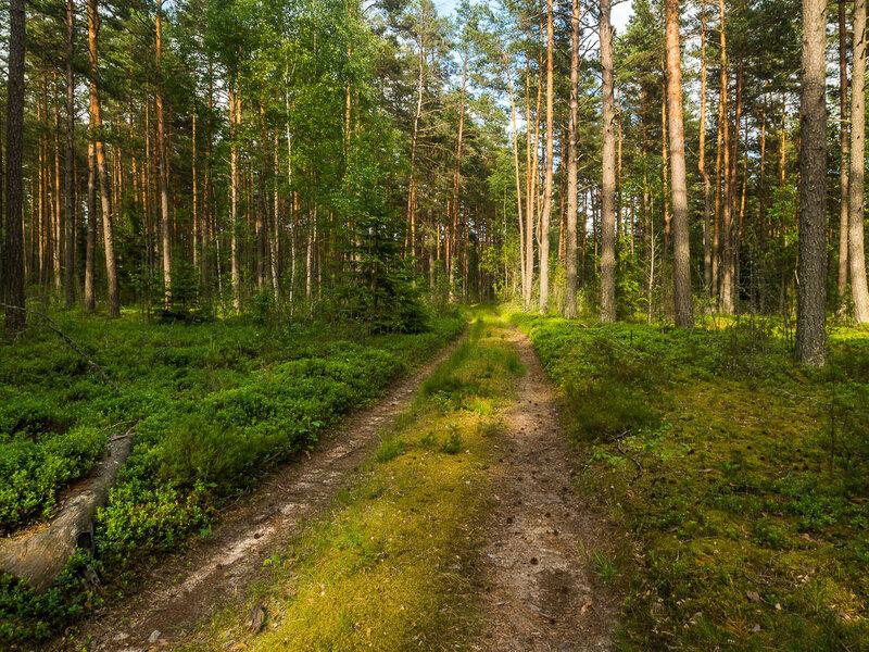Лесная дорога неподалёку от деревни Малая Сырмеж.