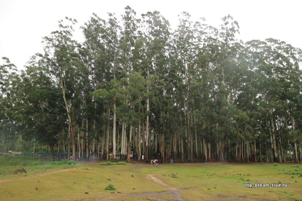 Вокруг озера растет эвкалиптовый лес