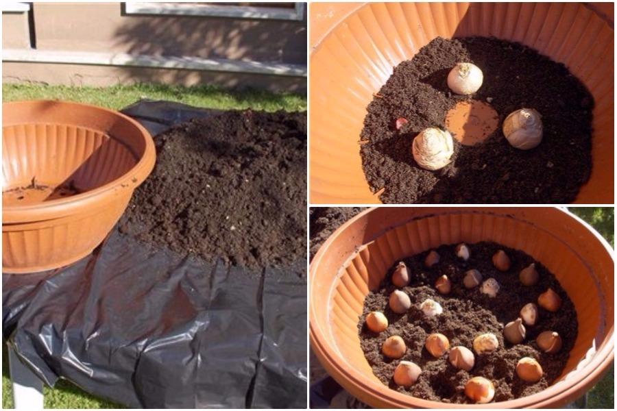 Можно ли сажать тюльпаны осенью в горшки 37