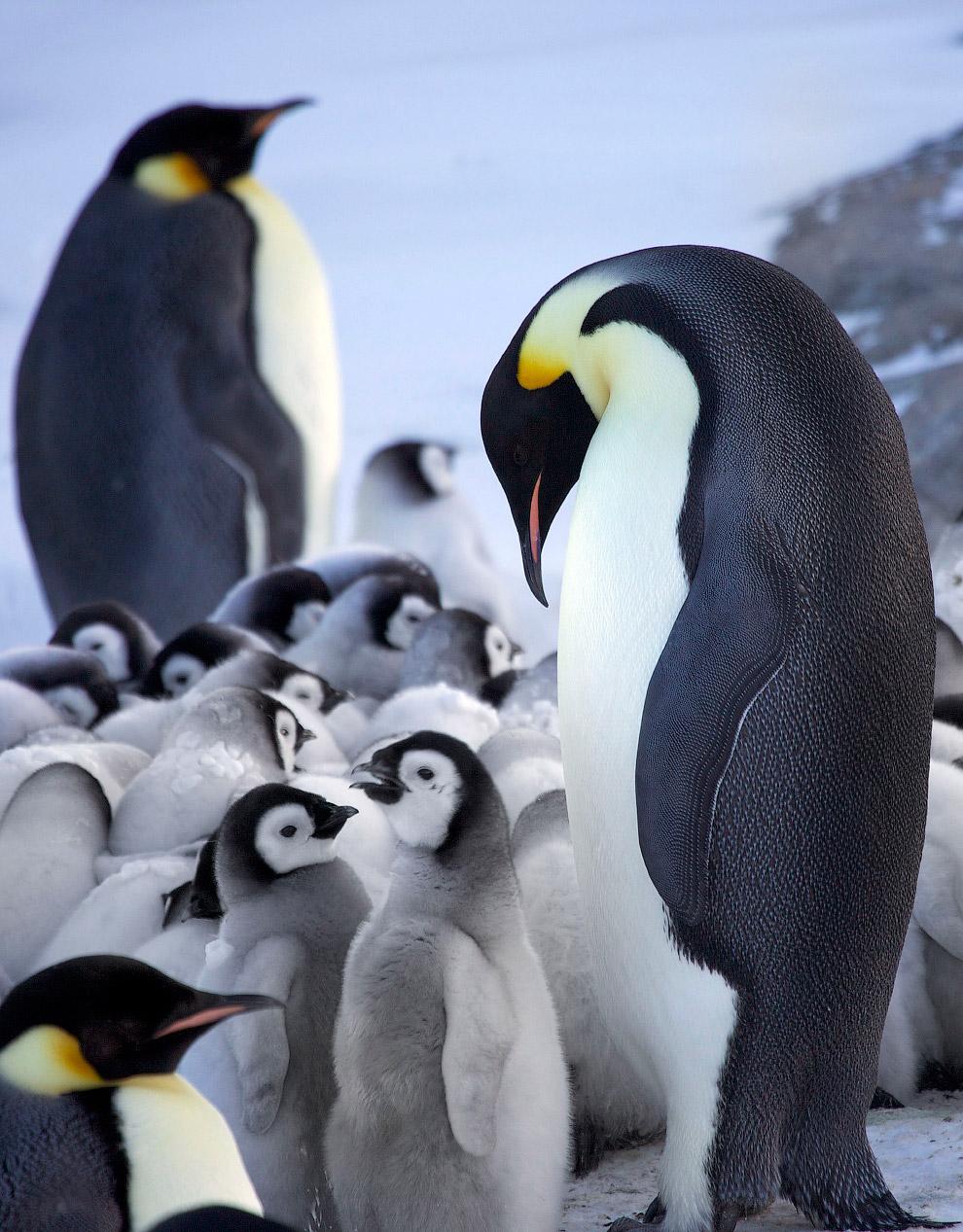 9. Пингвинята.