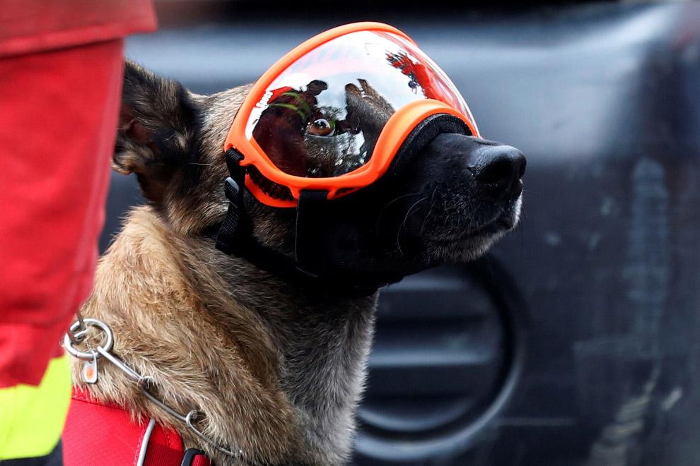 7. Между этажами разрушенных зданий собакам-спасателям передвигаться сложно. (Фото Ronaldo Schemidt)