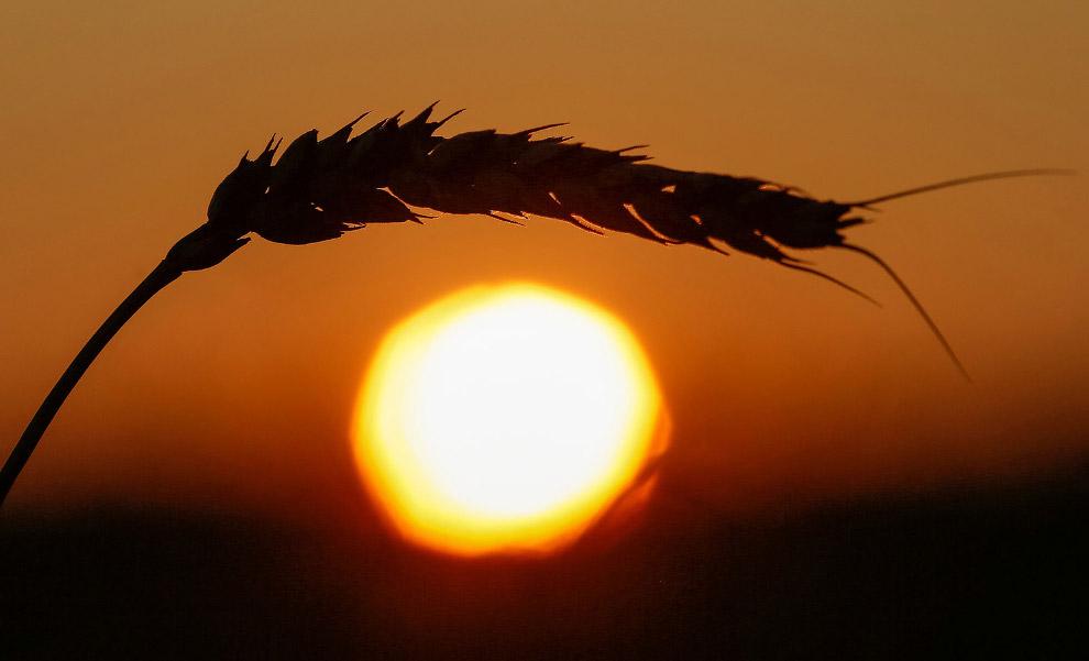 14. Урожай на полях Швейцарии. (Фото Denis Balibouse | Reuters):
