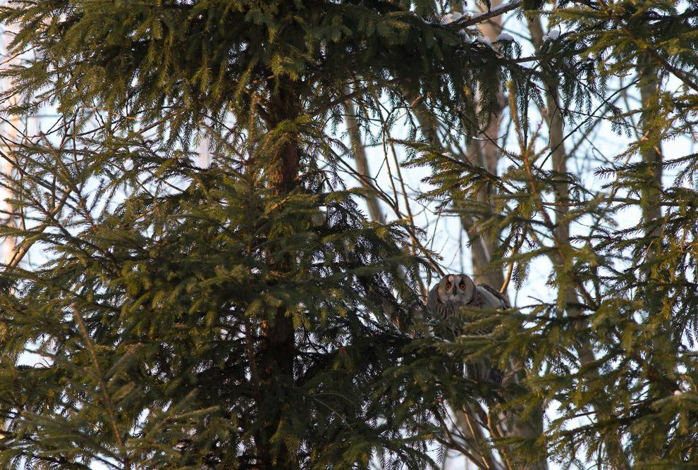 11. Четвертая нашлась тоже на ёлке. Надо же, три ёлки в округе, и на двух сидели совы.=))) Эта мне п
