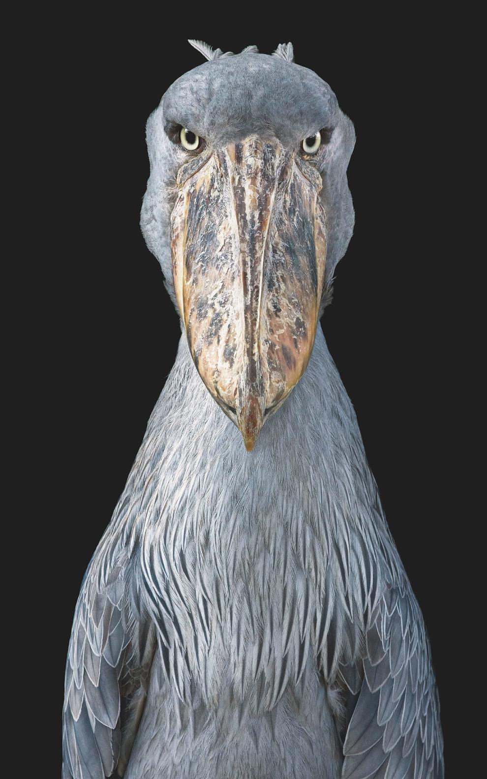 19. Бегемот — одно из крупнейших современных наземных животных. Относится к уязвимым видам. (Фото Ti