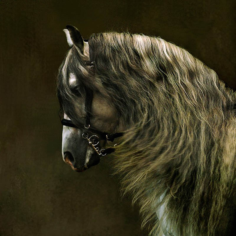 14. Андалузские лошади имеют длинные густые гривы и хвосты. (Wojtek Kwiatkowski)