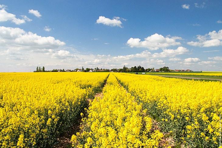Рапсовые поля во Франции (26 фото)